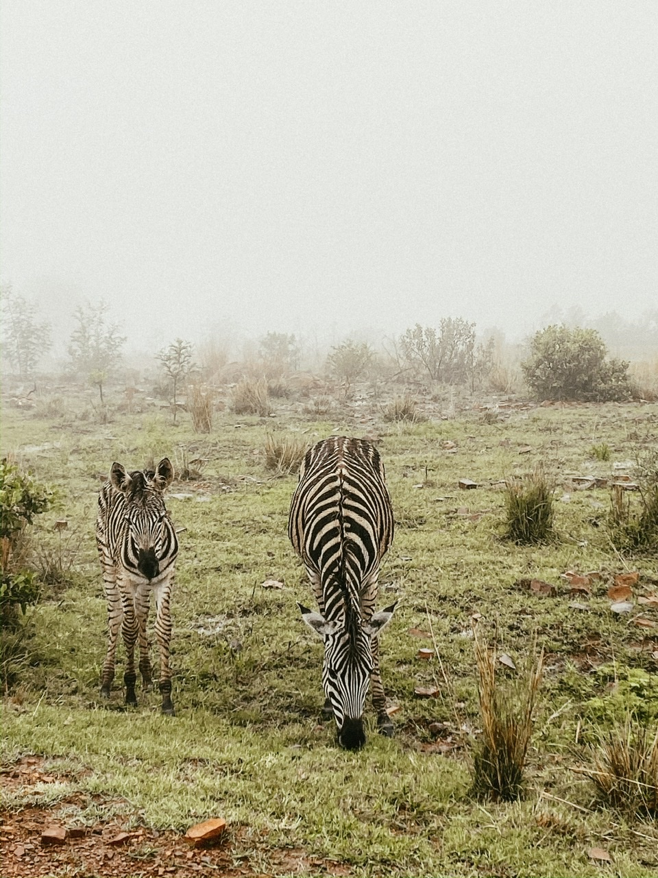 Zebras Pretoria South Africa